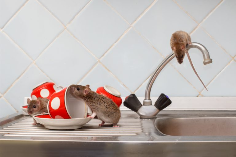 Learn how to deal with mice on kitchen sink through our online training courses