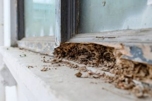 termites in a damaged window frame