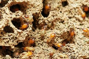 termite colony in wood before treatment