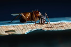 Australian native pests include this Carpenter ant.