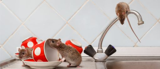 A pest identification and treatment plan will help you eliminate mice